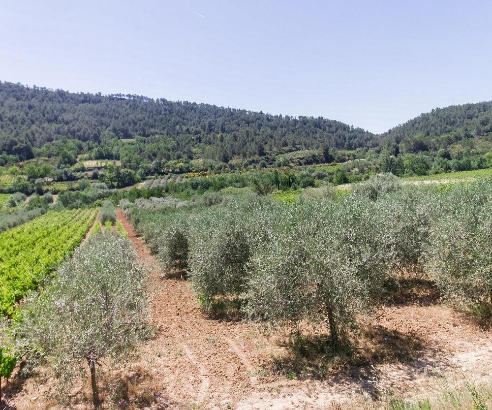 vignes et oliviers corbieres